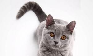 猫咪摇尾巴代表什么?