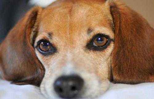 狗狗发烧了怎么办?
