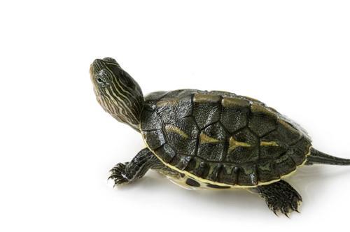 乌龟不吃东西能活多久?