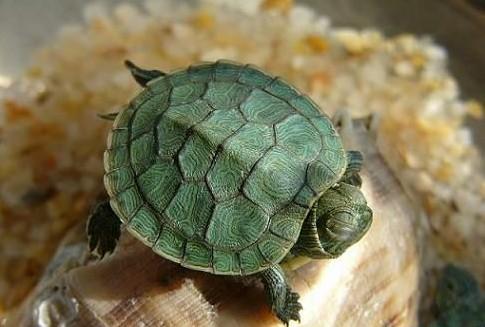 巴西龟会淹死吗?
